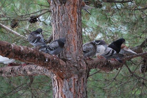Pigeons pas si pigeons