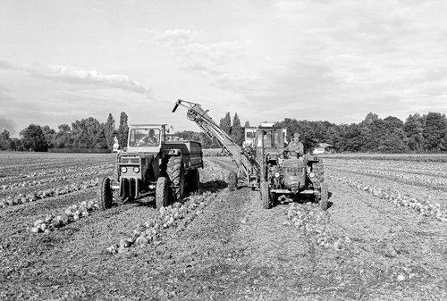 Anières, la récolte de la betterave fourragère