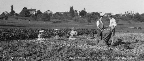 Bremblens, la récolte des pommes de terre