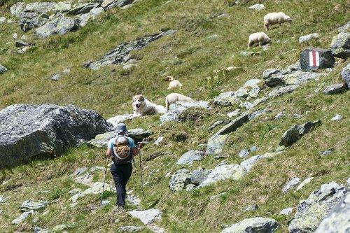 Les tourisme en Suisse, les moutons et ses chiens