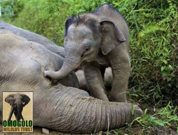Elephant Poached W Calf And Logo
