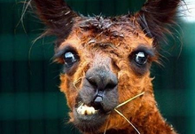 Stressed llama for web