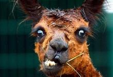 Stressed llama for web
