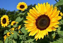 Sunflower 1627193 1920 2