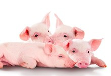 Pigs320