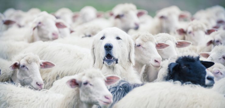 Photo of white sheep with one black sheep and a white dog