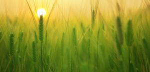 Image of a wheat up close in a wheat field with the sun behind