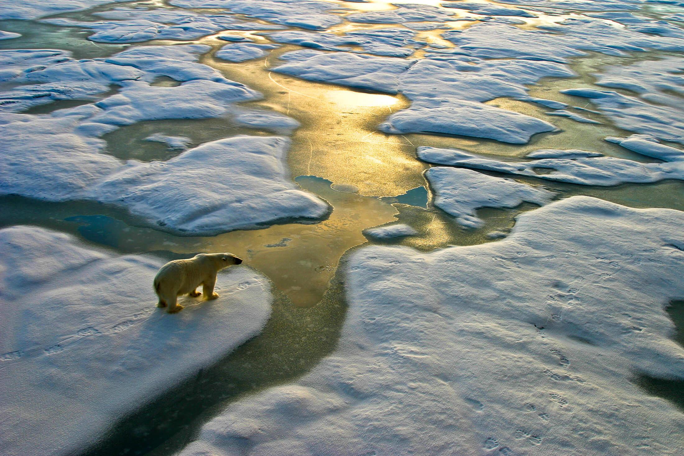 Polar bear looking at melting ice caps