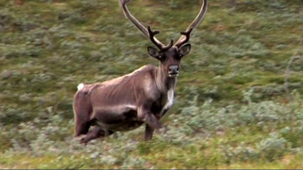 Ulovlig rensdyr-, får- og moskusjagt ved Nuuk