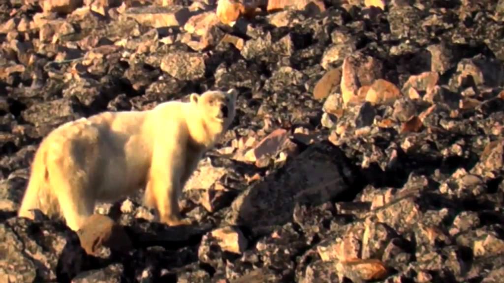 Isbjørne tæt på mennesker i Ittoqqortoormiit