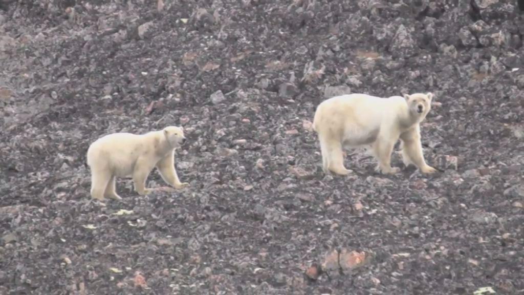 Isbjørnepatrulje