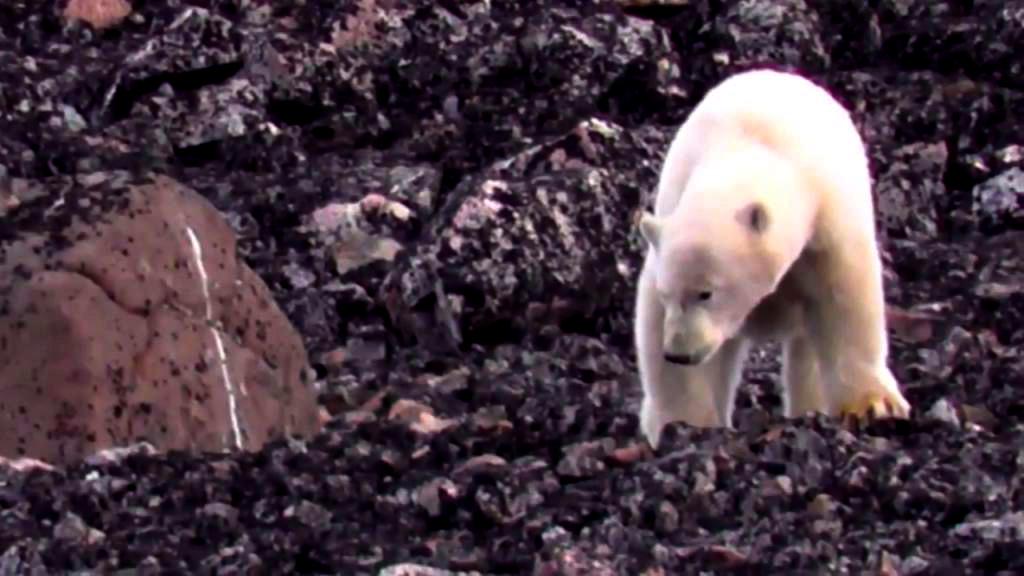 Isbjørne ved Nuuk