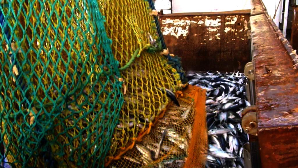 Afgifter på torsken