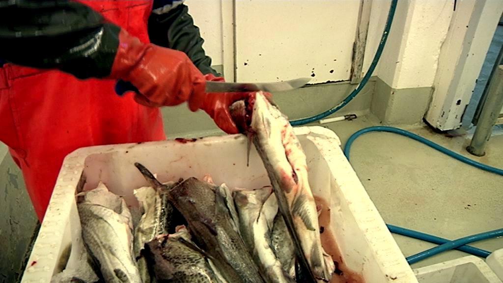 Flere torsk