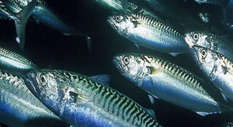 Makrelkvote