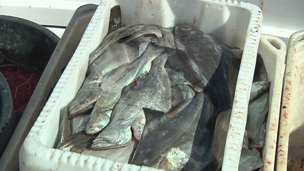 Hellefiskebestanden er i fare