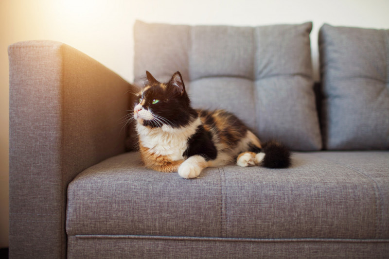 Come eliminare l'odore di urina del gatto dal divano