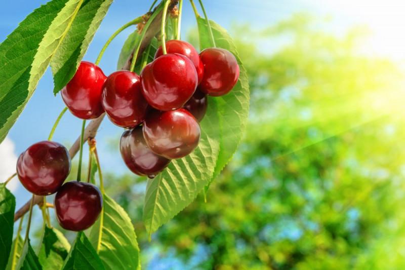 Come piantare un ciliegio dal nocciolo del frutto