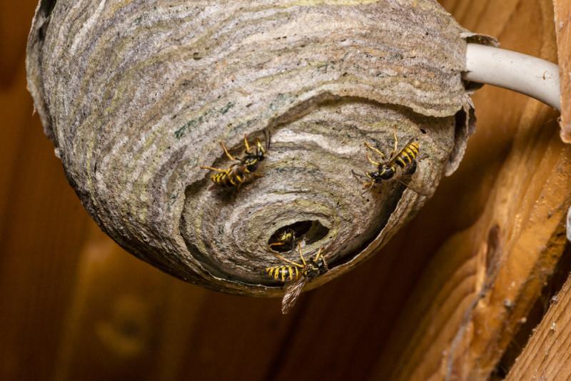 Come eliminare un nido di vespe