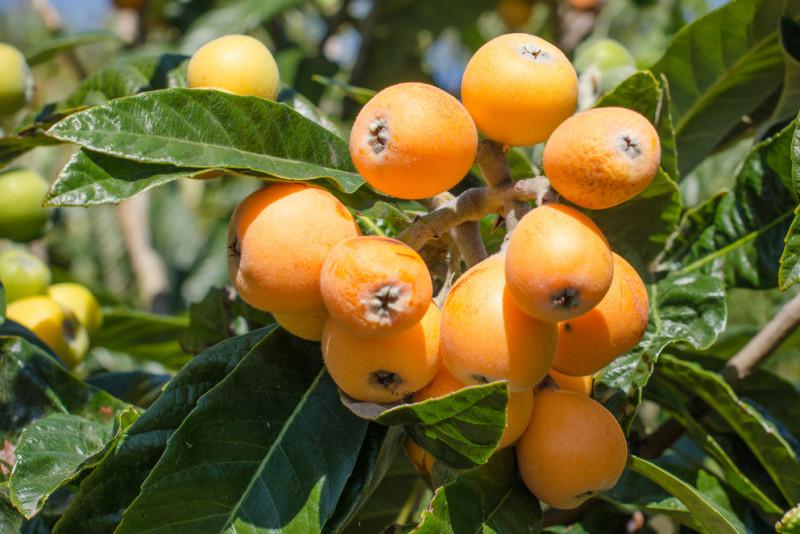 Come far crescere una pianta di nespolo dal frutto