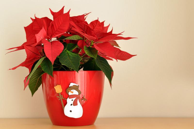 Come Mantenere Stella Di Natale.Come Moltiplicare E Far Rifiorire La Stella Di Natale Fai Da Te Mania