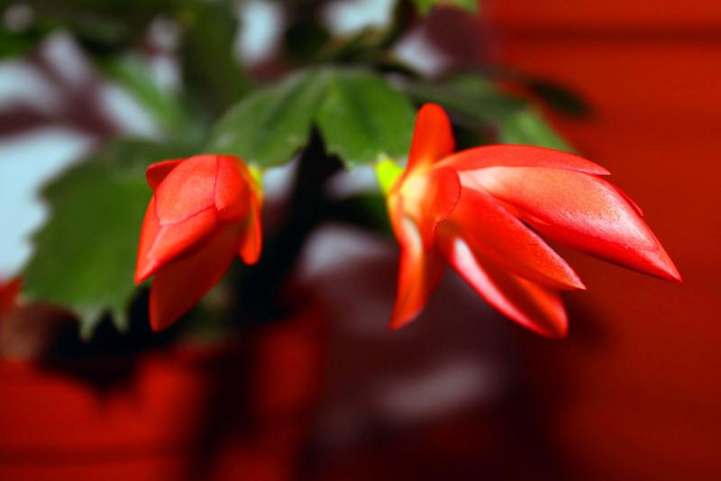 Come coltivare una Zygocactus truncatus (cactus di Natale)