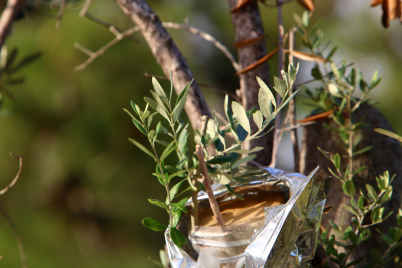 Come innestare l'ulivo