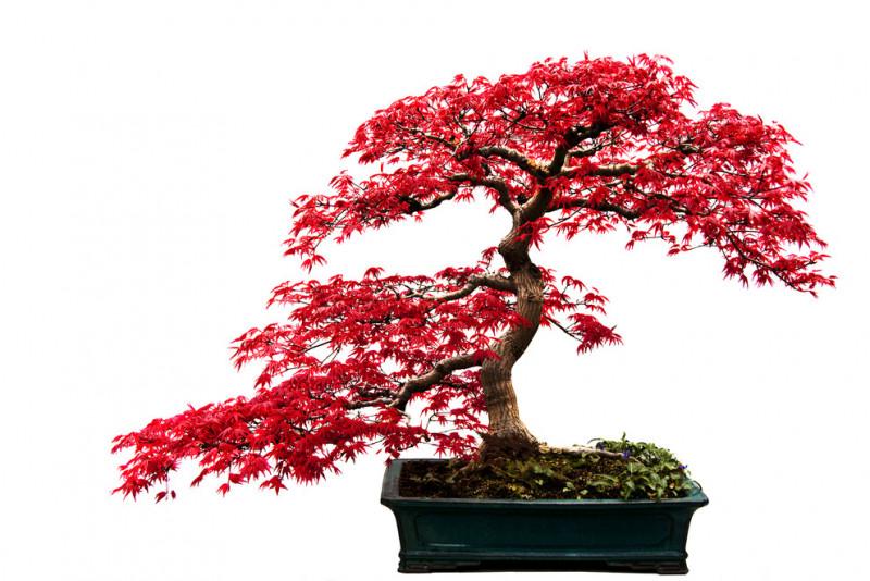 Cosa fare se il bonsai perde le foglie