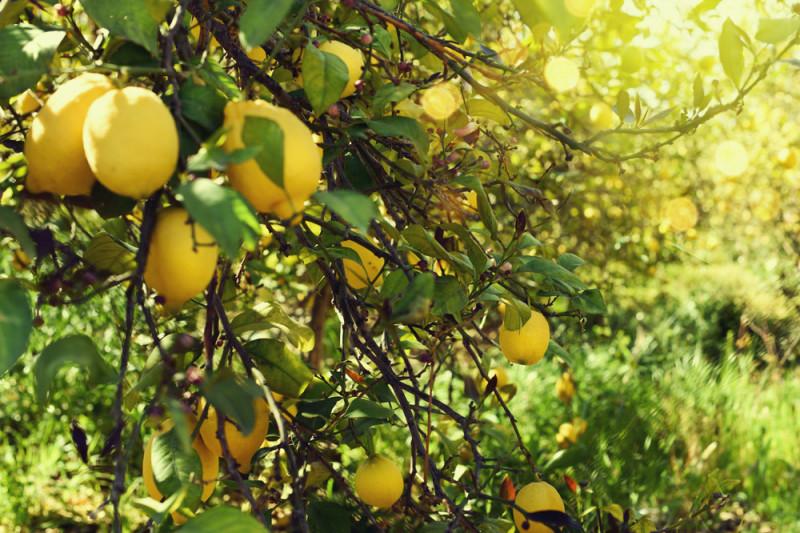 Come proteggere una pianta di limone dal freddo
