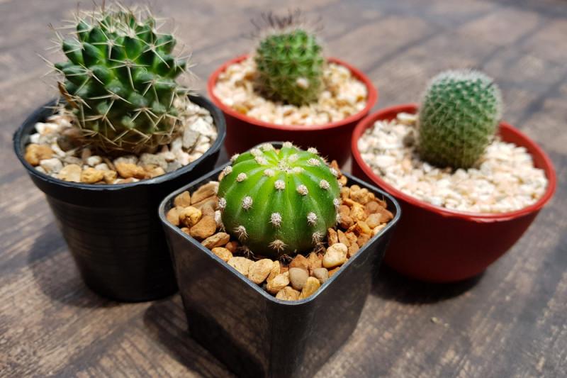 Come curare i cactus in casa in inverno