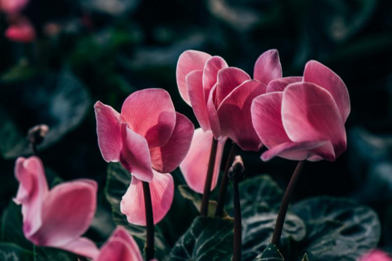 Come conservare i ciclamini in primavera