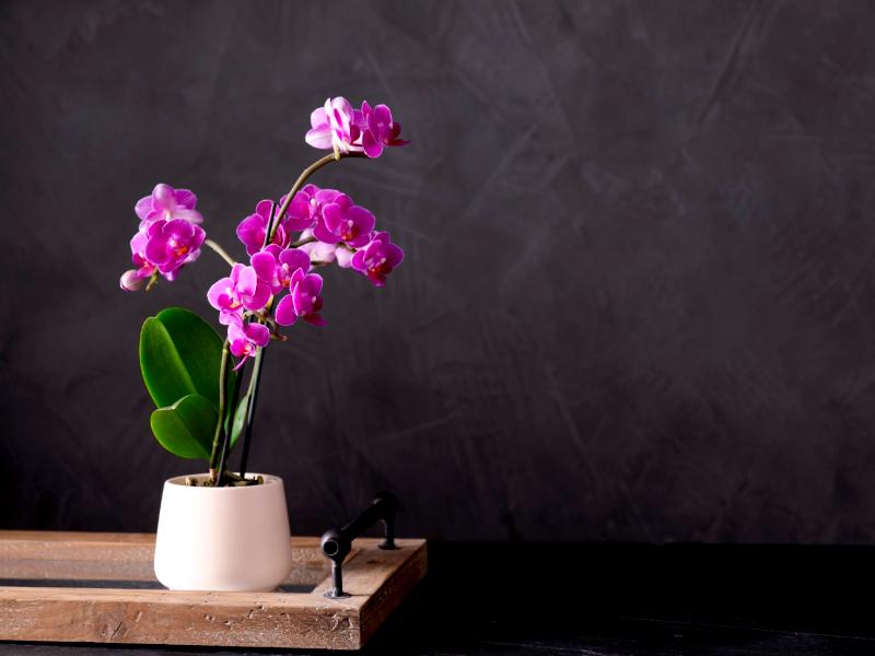 Come annaffiare l'orchidea
