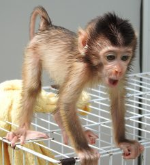 Orphaned baby macaque