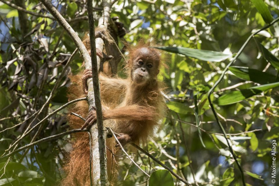 Baby Tapanuli Orangutan