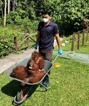 Caring for the orangutans
