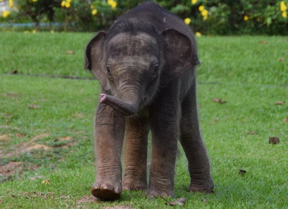 Bornean Elephant At Sepilok
