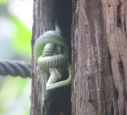 Bronze Back Snake