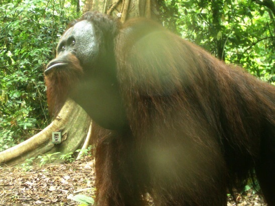 Camera Trap Image Of Orangutan