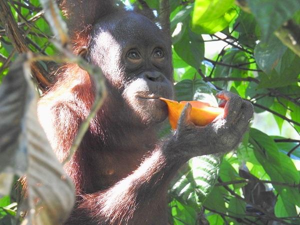 Goman Papaya