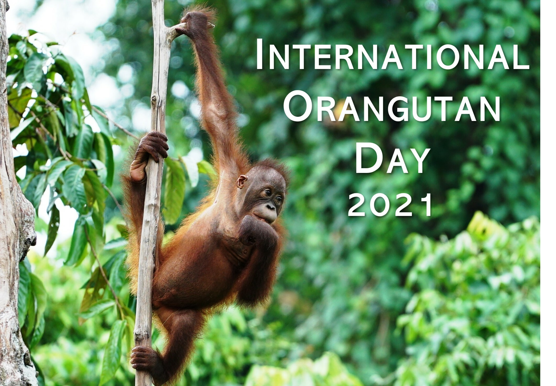International Orangutan Day 2021 website mailshot