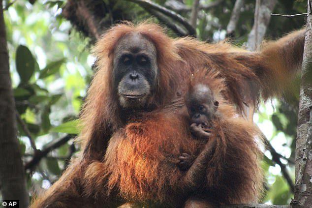 Mum And Baby Tapanuli Orangutan