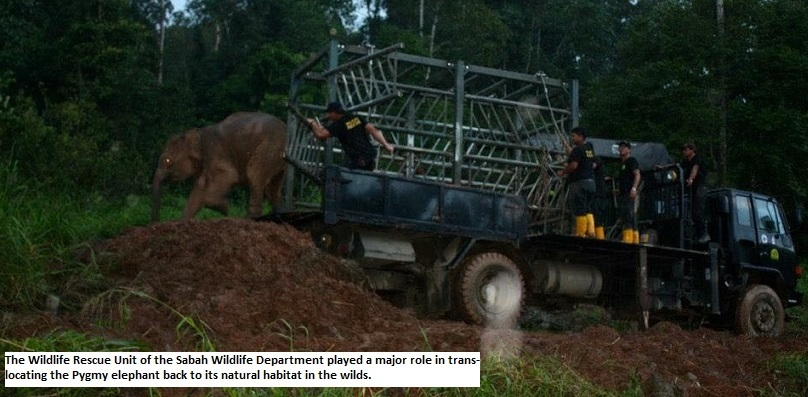Pygmy Elephant Rescue Translocation