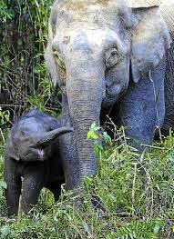 Pygmy Elephantz