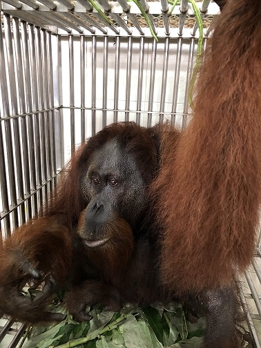 Rescued Orangutan Kopel 12 2017