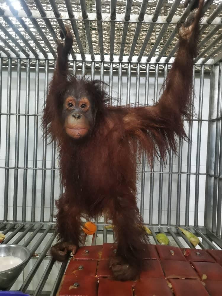 Sukau male orangutan rescue