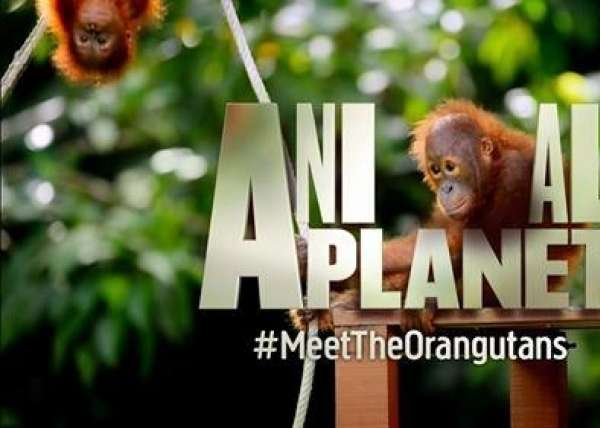 Meet The Orangutans Ap