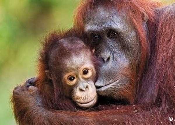 Tapanuli Orangutan C Action Network
