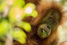 Adult Tapanuli Orangutan