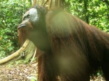 Camera Trap Image Of Orangutan