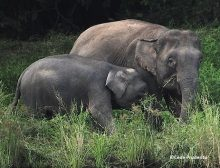 Elephants On The River Cr Copyright Cede Prudente